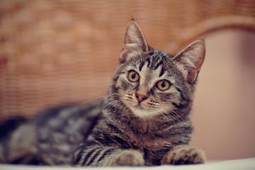 Portret pasiasty kotek domowych na krzesło wiklinowe
