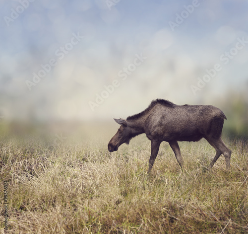 Female Moose Walking - 99376551