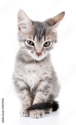 Cute little grey kitten