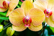 Close up yellow orchid