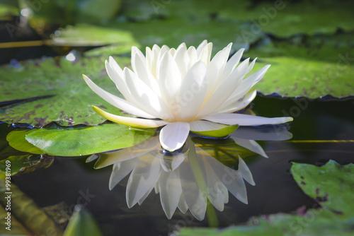 Fleur de lotus blanc reflète avec l'eau dans l'étang Poster