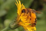 Hosenbiene auf Ferkelkraut - 99424179