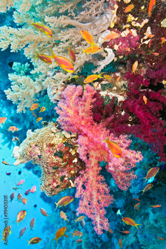 Obraz na Szkle Shoal of anthias fish on the soft coral reef