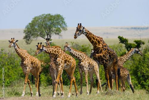 Fototapeta Group of giraffes in the savanna. Kenya. Tanzania. East Africa. An excellent illustration.