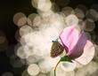 Motyl nocą