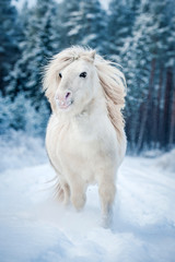White shetland pony running in the snow in winter