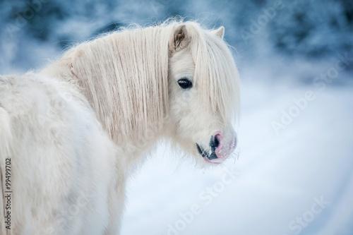 Zdjęcia na płótnie, fototapety na wymiar, obrazy na ścianę : Portrait of white shetland pony in winter
