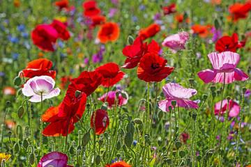 wiosna łąka z Czerwone maki