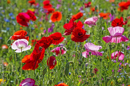 Fototapeta spring meadow with red poppies