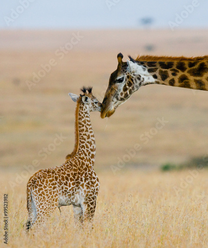 Fototapeta Female giraffe with a baby in the savannah. Kenya. Tanzania. East Africa. An excellent illustration.