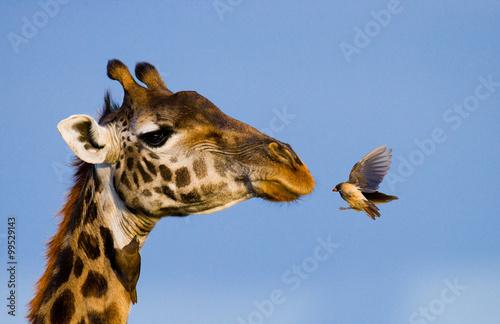 Fototapeta Giraffe with bird. A rare photograph. Kenya. Tanzania. East Africa. An excellent illustration.
