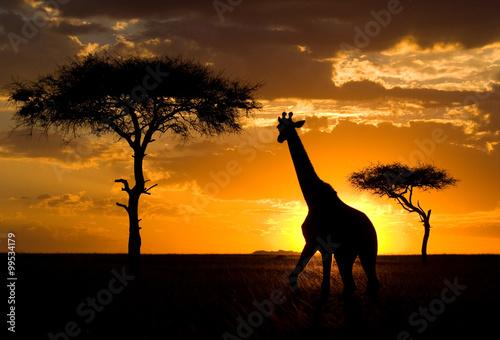 Fototapeta Giraffe at sunset in the savannah. Kenya. Tanzania. East Africa. An excellent illustration.