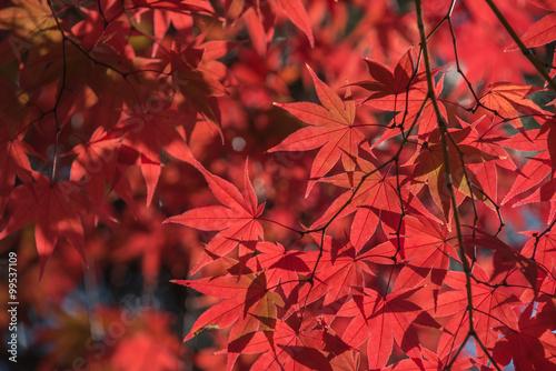 Papiers peints Bordeaux Maple tree in autumn