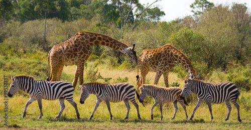 Fototapeta Two giraffes in savannah with zebras. Kenya. Tanzania. East Africa. An excellent illustration.