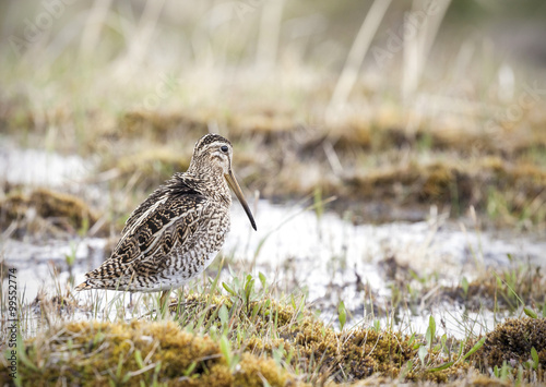 Poster Wading bird in natural environment, Chile.
