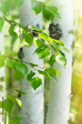 Papiers peints Bosquet de bouleaux Young birch trees with white trunks and fresh green leaves