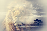 Double exposure of lion and Mount Kilimanjaro savanna landscape.