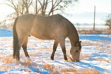 Buckskin konia zimą