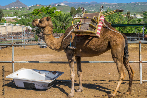 Camel at Timanfaya National Park, Lanzarote, Canary Islands, Spain Poster