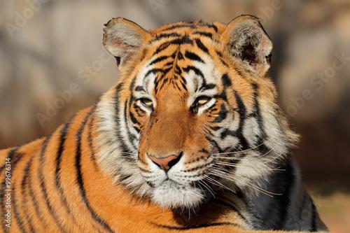 Poster Portrait of a Bengal tiger (Panthera tigris bengalensis).