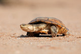 Helmeted terrapin (Pelomedusa subrufa) on land, South Africa.