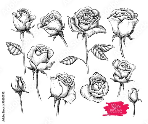Zdjęcia na płótnie, fototapety, obrazy : Vector hand drawn botanical rose set. Engraved collection