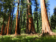 Redwood trees in Sequoia National Park