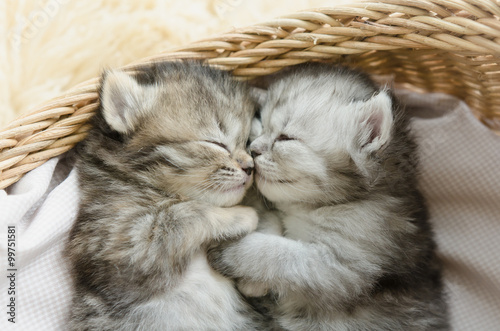 Poster  tabby kittens sleeping and hugging in a basket