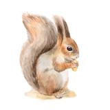 Squirrel with a nut. Hand drawn. Watercolor illustration in vector.