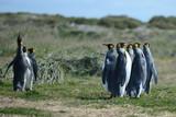 King penguins on the Bay of Inutil.