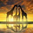 Herd of giraffes at sunset