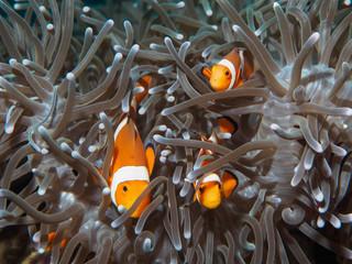 anemoe ryb