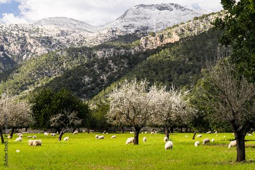 Poster Mallorca im Schnee - Blick über eine Wiese auf den Massanella