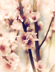 Cherry blossoms closeup © pilipphoto