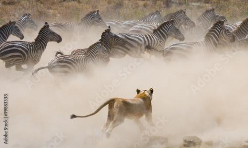 Fototapeta Lioness attack on a zebra. National Park. Kenya. Tanzania. Masai Mara. Serengeti. An excellent illustration.