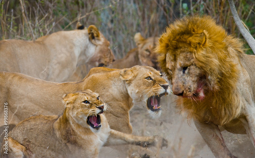 Foto op Aluminium Lion Fight in the family of lions. National Park. Kenya. Tanzania. Masai Mara. Serengeti. An excellent illustration.