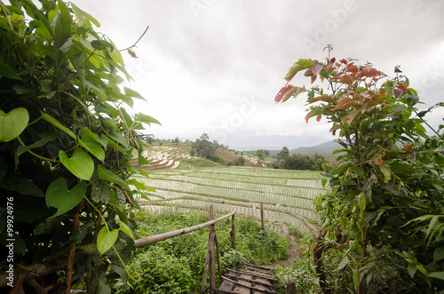 Poster Heuvel Rice filed terrace in harvest season at northern part of Thailan