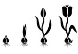 Growth cycle tulip