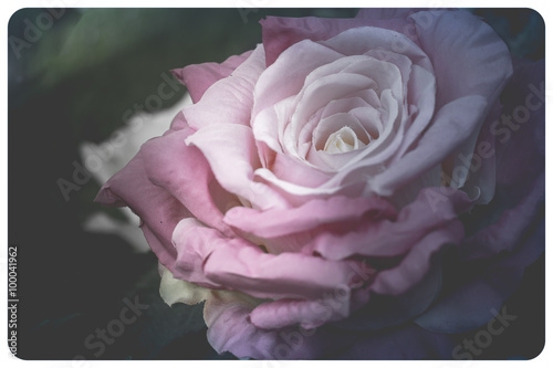Close up of beautiful pink rose petals, vintage tone © noikritsana
