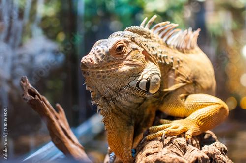Staande foto Kameleon Iguana sitting on a branch in the terrarium