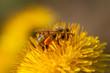 Obrazy na płótnie, fototapety, zdjęcia, fotoobrazy drukowane : ape raccoglie polline su tarassaco