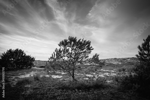 Poster Black and white silhouette of a isolated tree in pine grove in S