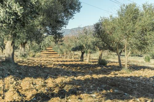 Tuinposter Olijfboom Olive tree cultivation of olives