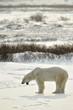 Yawning Polar bear. The polar bear on snow tundra