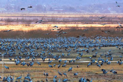 Foto op Canvas Cranes in morning light