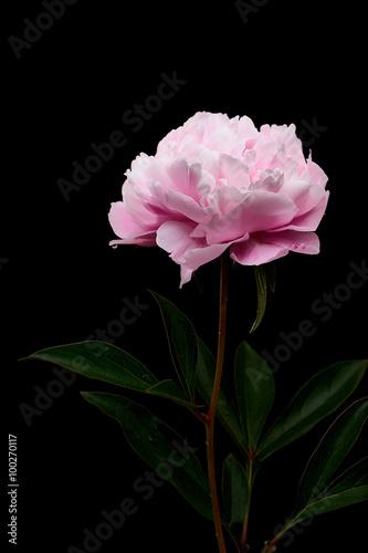 Fototapeta Still life di un fiore di peonia realizzato in studio