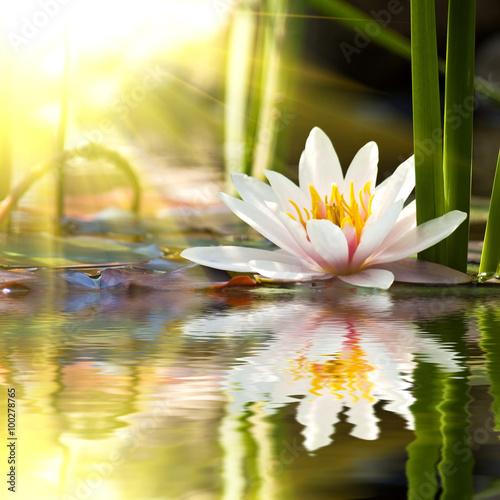 lotus flower - 100278765
