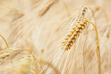 Cereal Plants, Barley, with different focus - 100283725