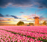 Fototapety Vibrant tulips field with Dutch windmill