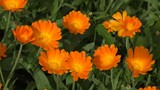Orange color marigold herb plant blooms move in wind in rural garden plantation. Static closeup shot. 4K